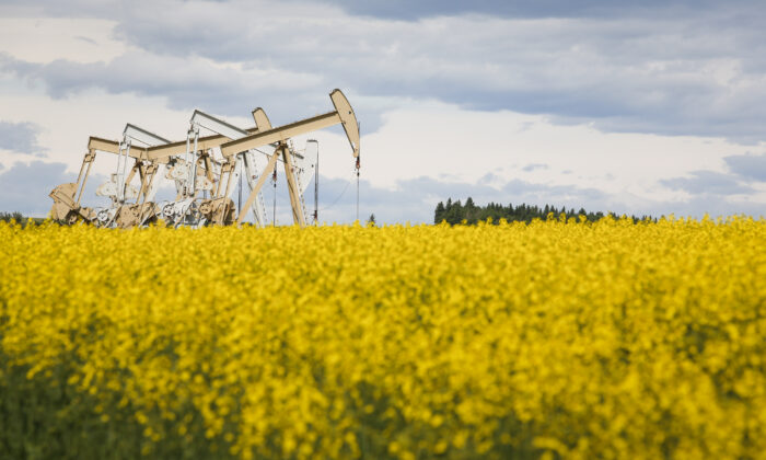 Canola has become one of the world's most important oilseed crops and the most profitable commodity for Canadian farmers. (The Canadian Press/Jeff McIntosh)