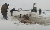 Farmers Unite to Rescue a Herd of Horses That Fell Into a Freezing Pond in Russia