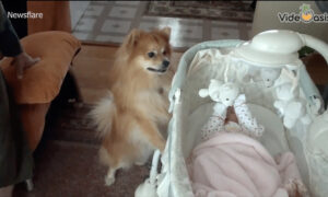 Cute Dog Is Excited To Meet The New Baby