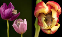 Photographer Captures Adorable Pictures of Harvest Mice Curling Up in Colorful Tulips