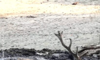 A Wonderful Rescue of a Thirsty Buck
