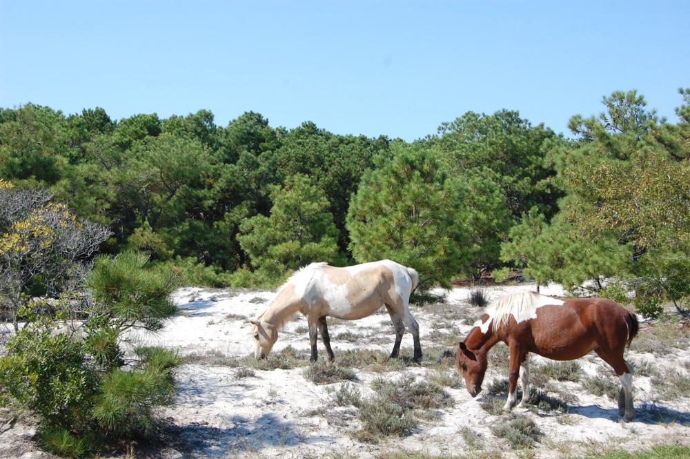 horses on assateague island