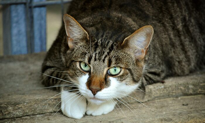 File photo of a domestic cat. A cat in the UK has become the first animal in the country to test positive for COVID-19, the UK government announced on July 27, 2020. (doanme/Pixabay.com)