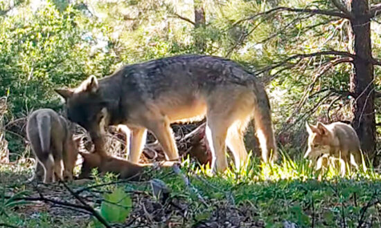 Conservation Groups Oppose Trump Administration's Decision to Cut Gray Wolves From Federal Endangered Species List