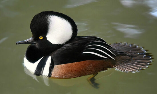 7 Most Uniquely Beautiful and Special Ducks From Around the World