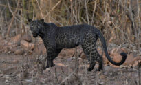 ​Once-in-a-Lifetime Photo Shows Rare Black Leopard Staring Down Photographer on Safari in India​