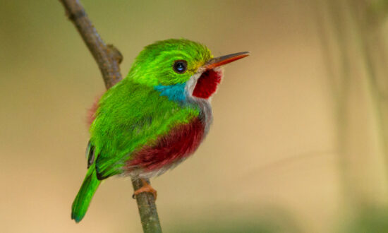 The Must-See Bird: Tiny Cuban Tody's Shimmering Hues Make It 'Indescribably Cute'