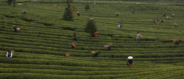 Tea Picking And Production Season Start In China