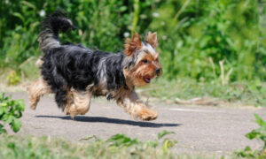 Fearless Senior Yorkshire Terrier Takes Bite From Pygmy Rattlesnake to Protect Owners on Hike