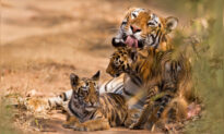 Wild Tigers Making a 'Comeback' in Five Countries Thanks to 10-Year Conservation Effort