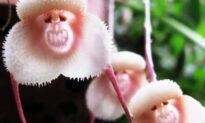 Dragon Orchid: A Cheeky Flower That Looks Like Cute Little Monkeys