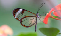 Glasswing Butterfly: These Incredible Creatures Stun With Their Amazingly Transparent Wings