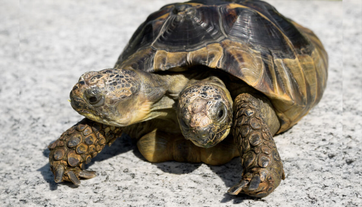 Janus the Two-Headed Tortoise Gets Ready to Celebrate Her 23rd Birthday in September