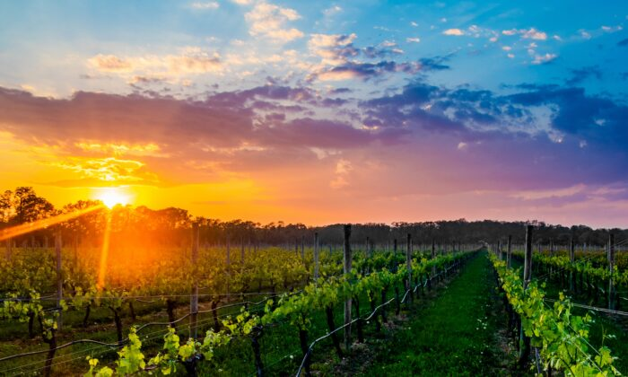 Sunset over the vineyards of Bedell Cellars. (Courtesy of Discover Long Island)