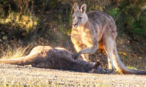Heartbreaking Photo Shows Kangaroo Buck Grieving Over Mate Killed by Speeding Car