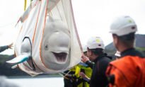 Two Beluga Whales Finally Reach the Sea After Epic Journey From Years in Captivity