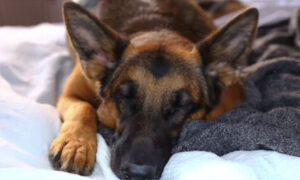 German Shepherd Shot Multiple Times Protecting His Young Owner From Armed Robbers