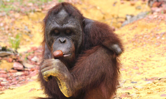 Orangutan Lost Both Arms Escaping Captivity, Makes Inspiring Comeback in Forest Sanctuary