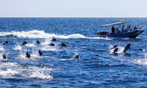 Spectacular 300 Dolphin Stampede Wows Whale Watchers in Southern California
