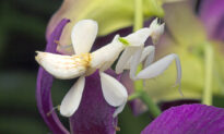 Did That Flower Eat a Butterfly? This Incredible Insect Mimics Orchids Better Than Actual Ones