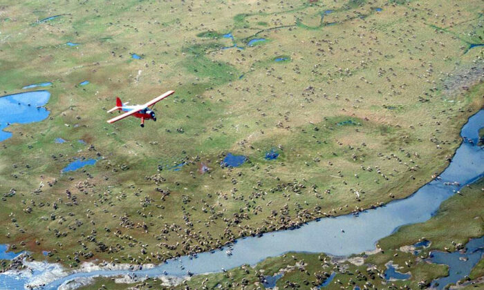 An airplane flies over caribou from the Porcupine Caribou Herd on the coastal plain of the Arctic National Wildlife Refuge in northeast Alaska, in an undated file photo. (U.S. Fish and Wildlife Service via AP)