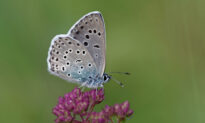 Rare Large Blue Butterfly That Was Previously Extinct Successfully Reintroduced to the UK