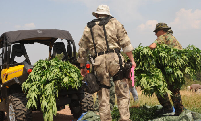 Law enforcement officers seize an estimated 7,000 to 9,000 illicit marijuana plants in Pueblo County, Colo., on Aug. 15, 2012. (Master Sgt. Cheresa D. Theiral)