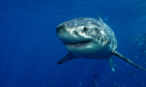 Australian Surfer Repeatedly Punched a Great White Shark to Save His Wife