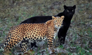 Photographer Takes 'Once-in-a-Lifetime' Shot of Black Panther and Spotted Leopard Mate