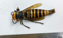 First Male 'Murder Hornet' Ever Found in the US Captured in Washington State