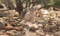 Tiny Adorable Elephant Shrew Documented in Horn of Africa for First Time in Nearly 50 Years