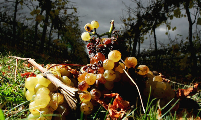 Chardonnay grapes lie rotting on the ground at a grower's vineyard on the Mornington Peninsula May 6, 2005 in Melbourne, Australia. (Mark Dadswell/Getty Images)