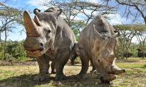 10 Extra Eggs Have Been Harvested From the Last Two Northern White Rhinos Left in the World