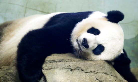 'Pure Joy': 22-Year-Old Giant Panda at US National Zoo Gives Birth to a Healthy Cub