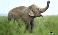 Obese 'Begging Elephant' Celebrates 7th Year of Health and Freedom After Rescue