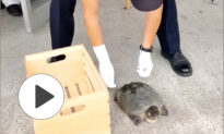 Rescue of a Trapped Snapping Turtle