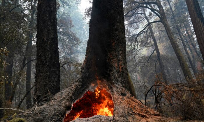 Fire burns in the hollow of an old-growth redwood tree in Big Basin Redwoods State Park, Calif., on Aug. 24, 2020. (Marcio Jose Sanchez via AP Photo)