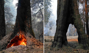 300 ft 'Mother of the Forest' Redwood Survives Wildfire Ravaging at California's Oldest Park