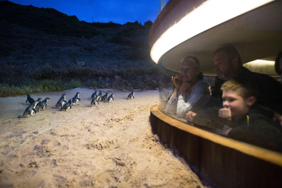 Phillip Island Nature Parks penguin viewing