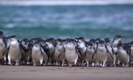 Fairy Penguins a Positive Distraction From CCP Virus Lockdowns