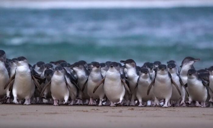 (Phillip Island Nature Parks)
