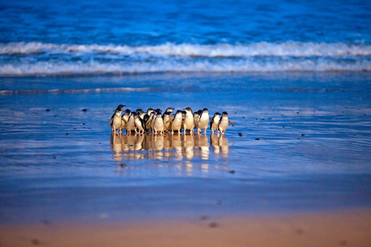 Phillip Island Nature Parks penguins