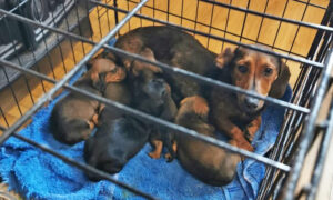 Police Seize 32 Stolen Dachshunds, Pugs, Chihuahuas Worth $140,000 in Home in Ireland