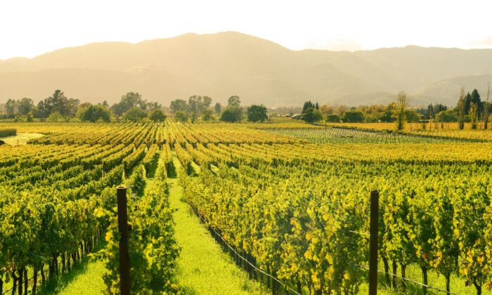 The vineyards of Northern California are surrounded by heavily wooded hillsides that have dried out and are ready to burn by the end of summer. It doesn't take much to spark a blaze. (Brandon Bourdages/Shutterstock)