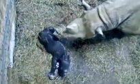 Brand-New Eastern Black Rhinoceros Calf Born at Cincinnati Zoo–and the Footage Is Adorable