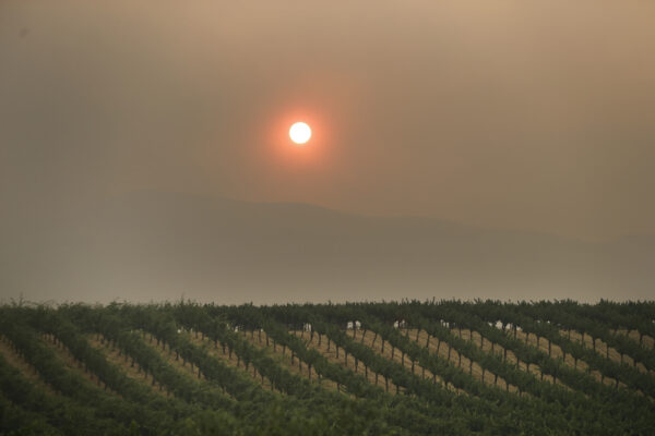 The setting sun is reddened by smoke from a wildfire over a vineyard