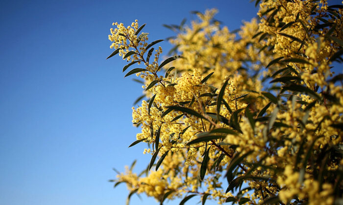 Wattle blooms are seen on the first day of spring, September 1, 2009 in Canberra, Australia. In the Southern Hemisphere, Spring runs from September to November.  (Mark Kolbe/Getty Images)