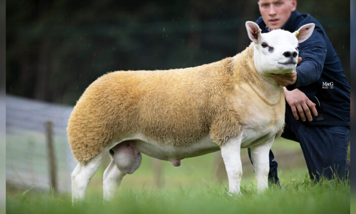 (Courtesy of Catherine MacGregor/Texel Sheep Society)