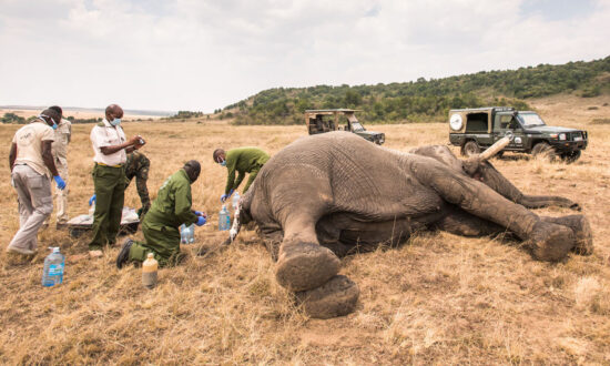 Vets Save Maggot-Infested Wounded Elephant After It Was Speared for Crossing Into Human Land