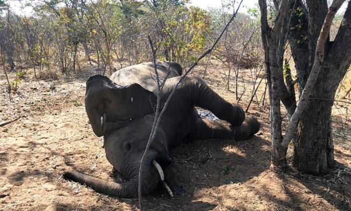 A dead elephant is seen in Hwange National park, Zimbabwe, on Aug. 29, 2020. (AP Photo)